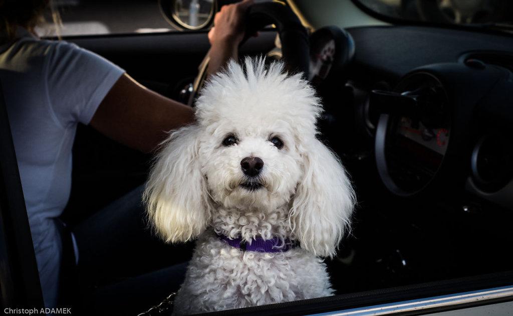 Dog in a car